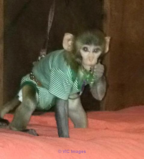 AMAZING BABY MONKEY FOR ADOPTION Halifax, Nova Scotia, Canada Annonces Classées